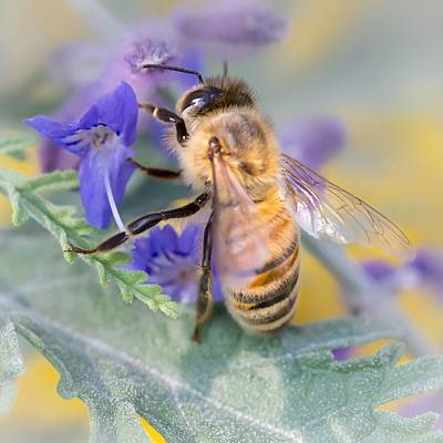 Buzz Photograph - Honey Bee 3 by Jim Hughes