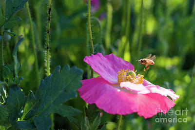 Photograph - Honey Bee And A Pink Poppy by Cathie Richardson
