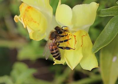 Photograph - honey Bee and a Snap Dragon by Lucinda VanVleck