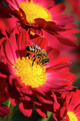 Photograph - Honey Bee And Chrysanthemum by Christina Rollo