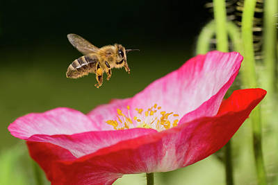 Photograph - Honey Bee And  Poppy Flower by Mircea Costina Photography