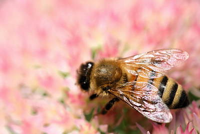 Photograph - Honey Bee by Angela Rath