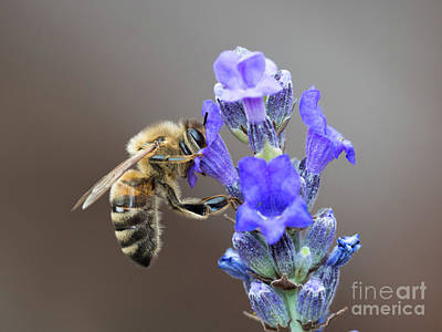 Honey Bee - Apis Mellifera - Feeding On Lavender Art Print