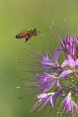 Photograph - Honey Bee At Work by Jim Zablotny