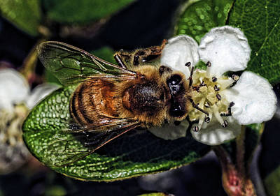 Photograph - Honey Bee Dining by Lawrence Christopher