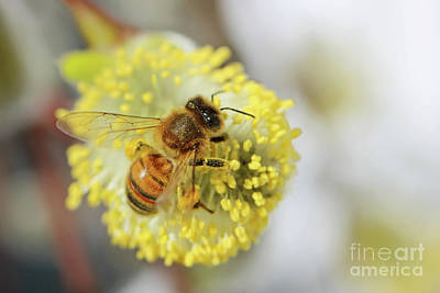 Photograph - Honey Bee Feeding On Pussy Willow, by Julia Gavin