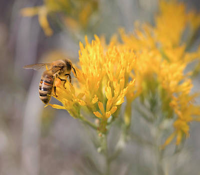 Photograph - Honey Bee Gathering Pollen On Yellow Chamisa Flowers by Barbara Rogers