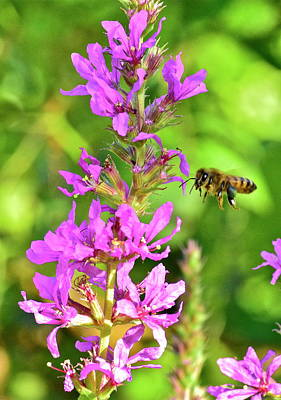 Photograph - Honey Bee In Flight by Jeffrey PERKINS