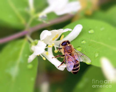 Photograph - Honey Bee In The Honeysuckle by Kerri Farley