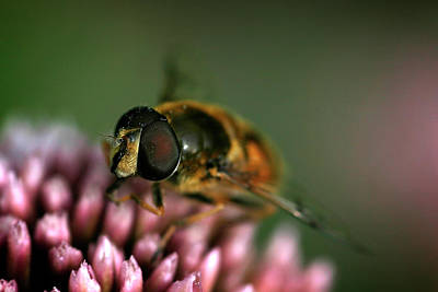 Photograph - Hoverfly On Flower by Inge Riis McDonald