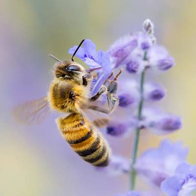 Buzz Photograph - Honey Bee by Jim Hughes