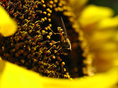 Sunflowers Royalty-Free and Rights-Managed Images - Honey Bee by Juergen Roth