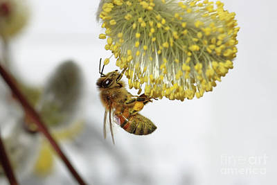 Photograph - Honey Bee Lands On Pussy Willow by Julia Gavin