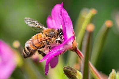 Photograph - Honey Bee by Nadia Sanowar