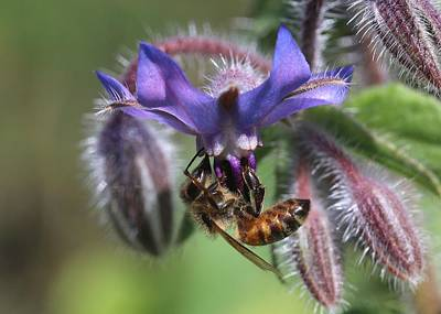 Photograph - Honey Bee On Borage by Lucinda VanVleck