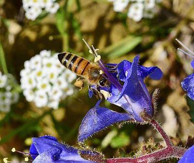 The Who - Honey Bee on California Bluebell Wildflower by Linda Brody