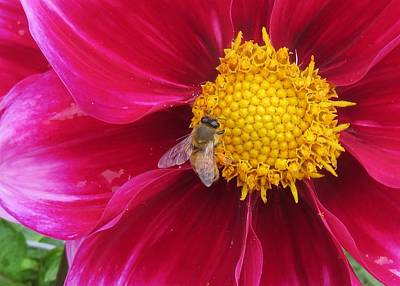 Photograph - Honey Bee On Dalhia by Lucinda VanVleck