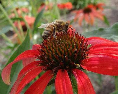 Photograph - Honey Bee On Echinacea by Lucinda VanVleck