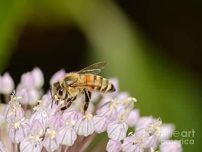Honey Bee On Elephant Garlic Art Print