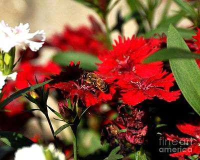 Photograph - Honey Bee On Flower by John Black