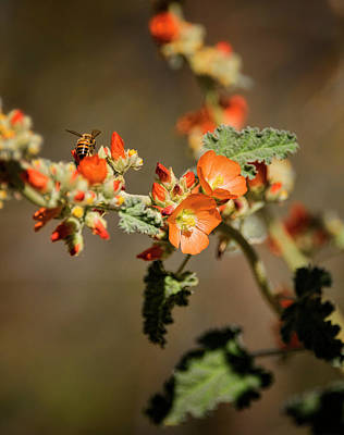 Photograph - Honey Bee On Globemallow  by Saija Lehtonen