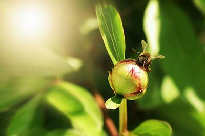Photograph - Honey Bee On Peony Bud by Classically Printed
