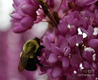 Photograph - Honey Bee On Redbud by Renee Olson