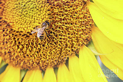 Photograph - Honey Bee On Sunflower by Sharon McConnell