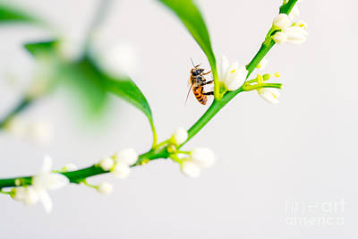 Photograph - Honey Bee On The Flower by Anna Om