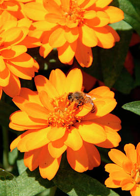 Photograph - Honey Bee On Yellow Flower by George Jones