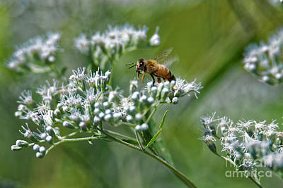 Photograph - Honey Bee by Paul Mashburn