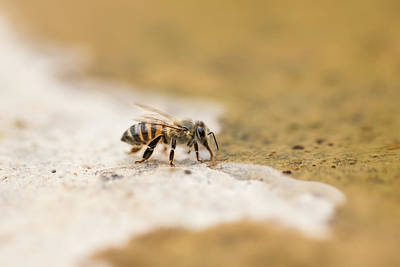 Photograph - Honey Bee by Petrus Bester