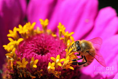 Photograph - Honey Bee Pollinating Zinnia by Angela Rath