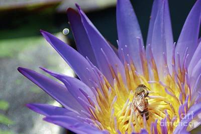 Honey Bee Resting On A Water Lily....   # Art Print by Rob Luzier