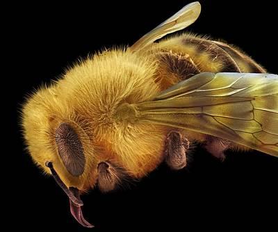 Honey Bee, Sem Print by David Mccarthy