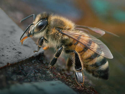 Photograph - Honey Bee by William Schmid