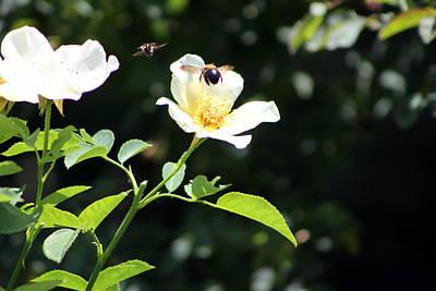 Honey Bees In Flight Over White Rose Art Print