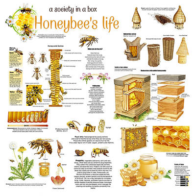 Drawing - Honey Bees Infographic by Gina Dsgn
