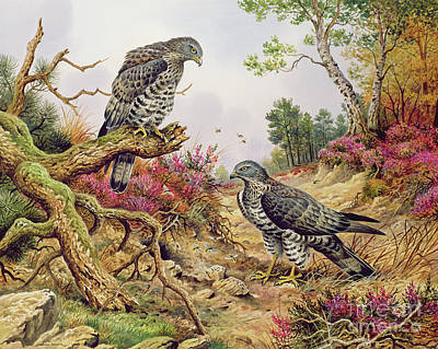 Buzzard Wall Art - Painting - Honey Buzzards by Carl Donner