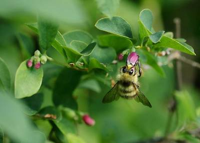 Photograph - Honey Gathering by I'ina Van Lawick