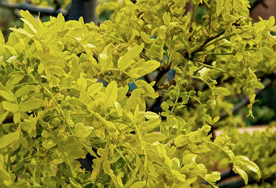 Photograph - Honey Locust by Charles Muhle