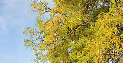 Locust Photograph - Honey Locust Tree by Tim Gainey