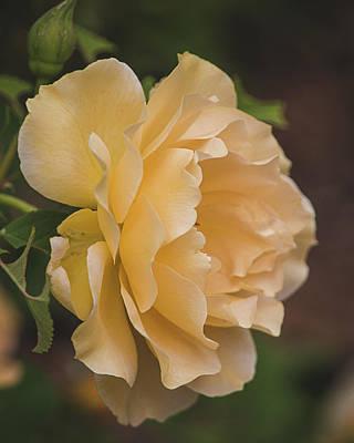 Photograph - Honey Perfume Rose Vertical by Teresa Wilson