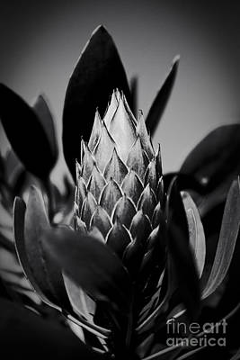 Photograph - Honey Pot King Sugar Bush Protea by Sharon Mau