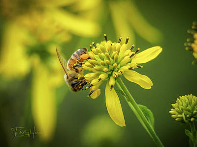 Photograph - Honeybee 21 by Timothy Harris
