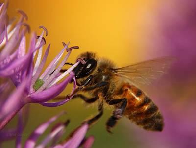 Photograph - Honeybee And Allium by Chris Berry