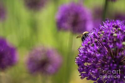 Photograph - Honeybee And Allium by Eva Lechner