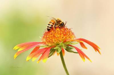 Photograph - Honeybee And Blanket Flower  by Chris Berry