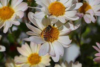 Photograph - Honeybee And Daisy Mums by Kathryn Meyer