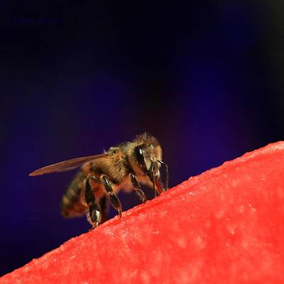 Photograph - Honeybee And Watermelon by Chris Berry